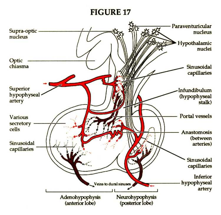 Female Human Body Veins Diagram in addition Labelled Diagram Of Endocrine System Labeled Diagram Of The Endocrine System Endocrine Glands Diagram 5 together with Cme Blood Blood Product Blood Transfusion further 48 besides Nervous System Structure. on endocrine glands diagram