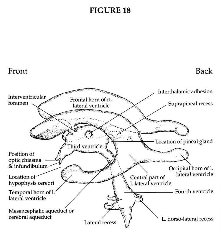cerebral ventricles  foramen of monro