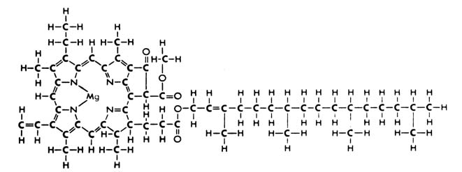 Academy of the new church structural formula of chlorophyll a reproduced with the permission of the bscs from high school biology op cit p 416 ccuart Gallery
